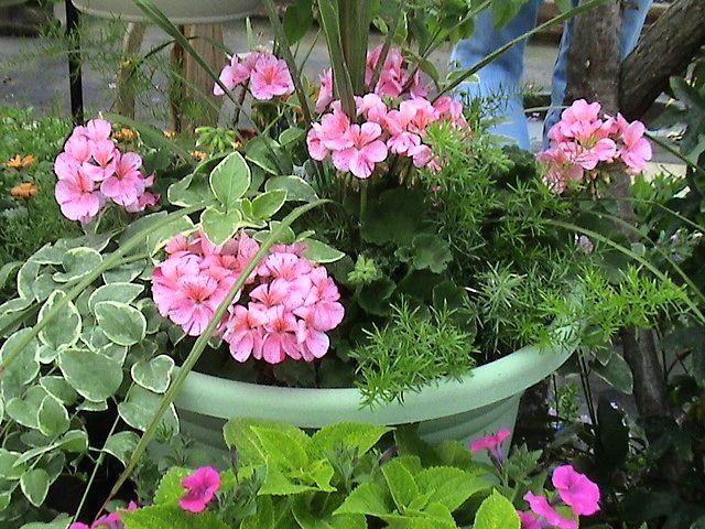 Turkey Creek Lane Country Gardens Greenhouse Asparagus Fern Geraniums Container Flowers