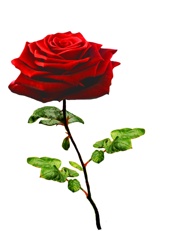 Red Roses Symbolize Eternal Love And Commitment As Well As Courage