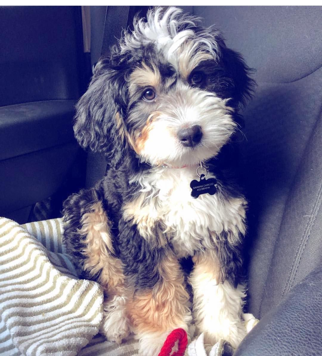 mini bernedoodle puppies immediately available