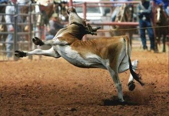 OMG:  rodeos ~ a legalized abuse of animals for COWARDS!  There must be a petition to sign somewhere here but I couldn't look at the pictures and videos any longer.   Why do intelligent humans think this is OK?