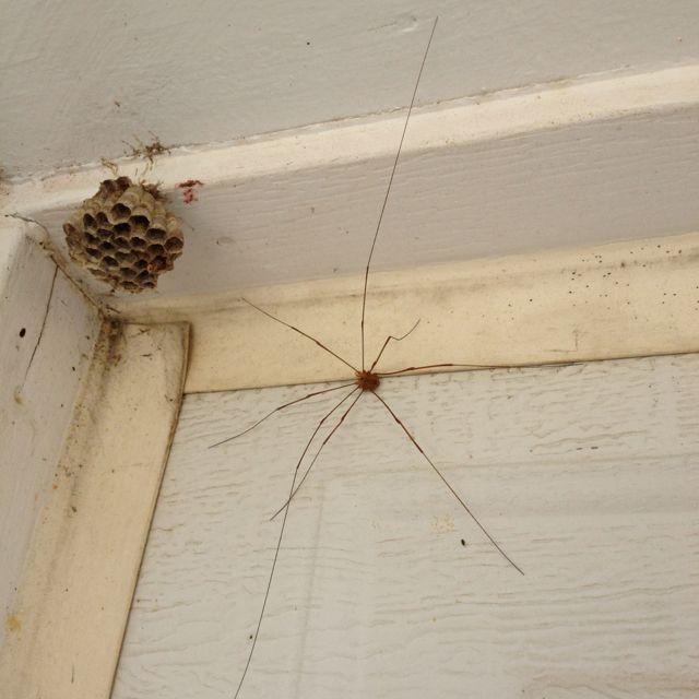 huge daddy long leg louisiana bugs daddy long bugs long legs. Black Bedroom Furniture Sets. Home Design Ideas