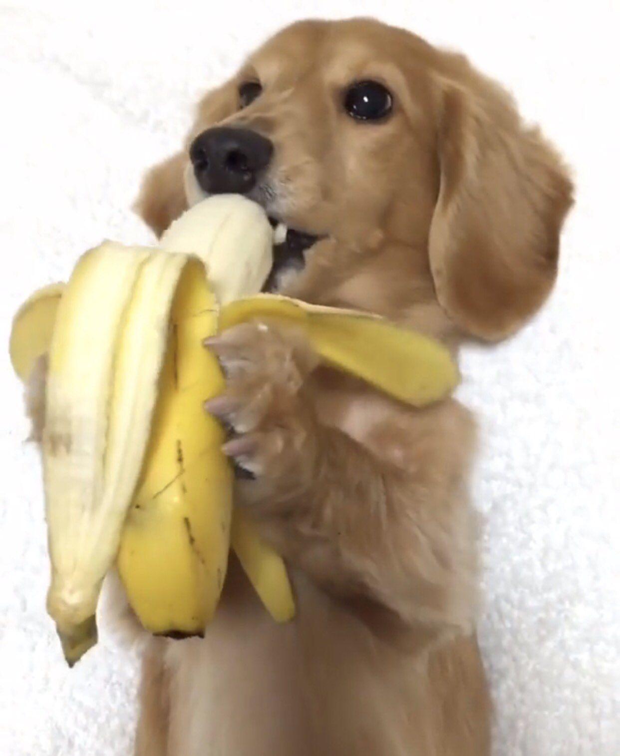 Gayweho Dogs 4 U On Dachshund Puppy Eating Bananas Super