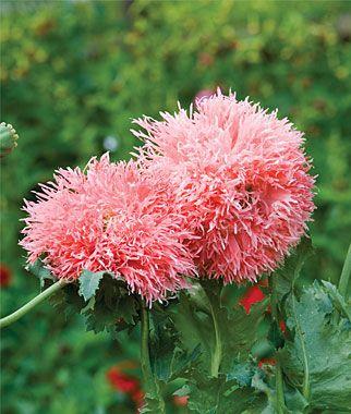 Poppy Venus Mohnblume Blumen Mohn