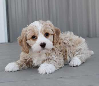 Best Quality Cavachon Puppies Cavachon For Sale Designer Dogs At Best Price Hybrid Cavachons Buy Online Best Litter Cavachon Puppies Designer Dogs Cavachon