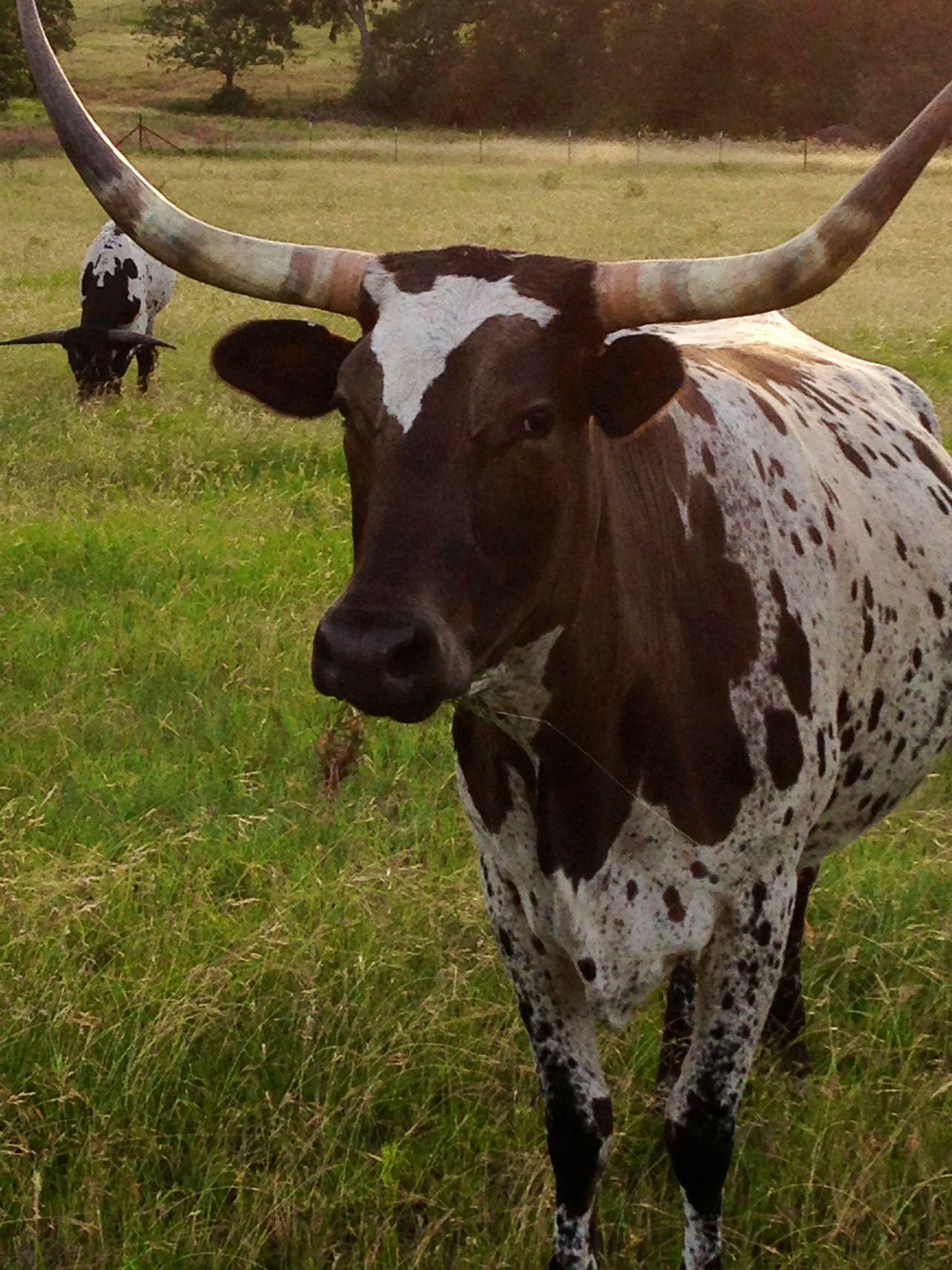 Abracadabra Longhorn, Africa fashion, Animals