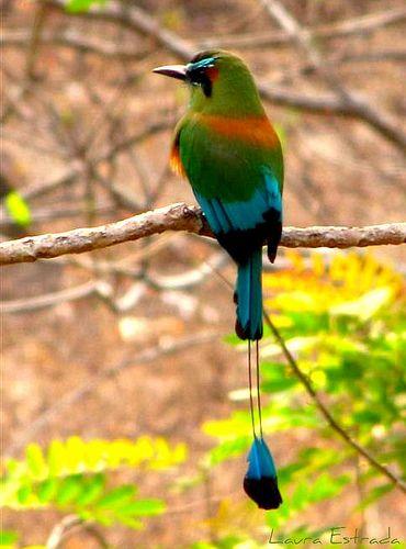 El Salvador National Animal : salvador, national, animal, Carlos, Favorites, Beautiful, Birds,, Costa, Salvador, Culture