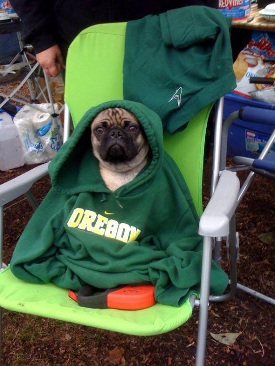 Use The Blitz Luke Pugs In Costume Pugs Pugs Funny
