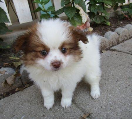 Chihuahua Dog For Adoption In Tucson Az Adn 786118 On