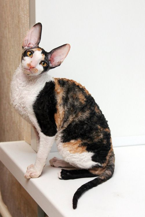Image result for calico cornish rex cats
