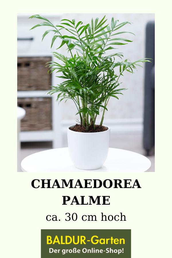 Chamaedorea Palme 1a Qualitat Baldur Garten In 2020 Zimmerpflanzen Pflanzen Grune Zimmerpflanzen