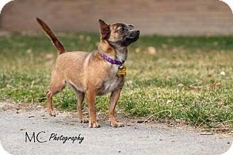 Salt Lake City Ut Chihuahua Mix Meet Tiny Mira A Dog For