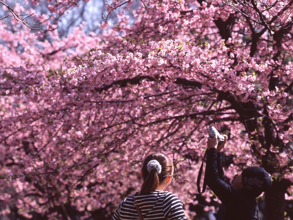 Cherry Blossom Viewing Hanami Season Has Arrived To Many Areas In Southern Part Of Japan It Means So Japan Cherry Blossom Season Tokyo Cherry Cherry Blossom