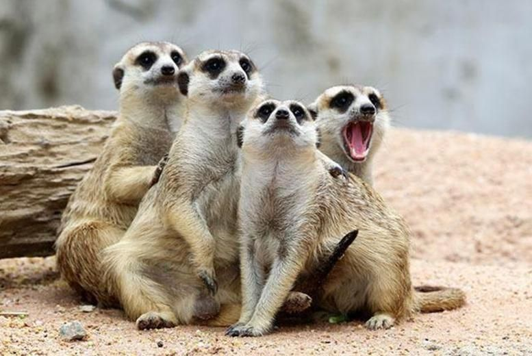 35 For A Meerkat Experience For 2 Or 65 For A Family Of Up To 5 At Lakeside Animal Park Telford Save Up To 50 Animal Experiences Meerkat Animals
