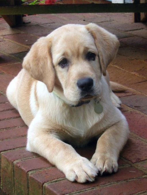 Buy Yellow Lab Puppies For Sale In New Jersey USA