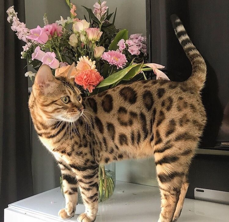 Bengal Cats Tumblr Cute Little Kittens Funny Cats Animals