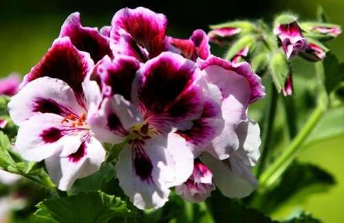 No flower garden is complete without Martha Washington Geraniums.