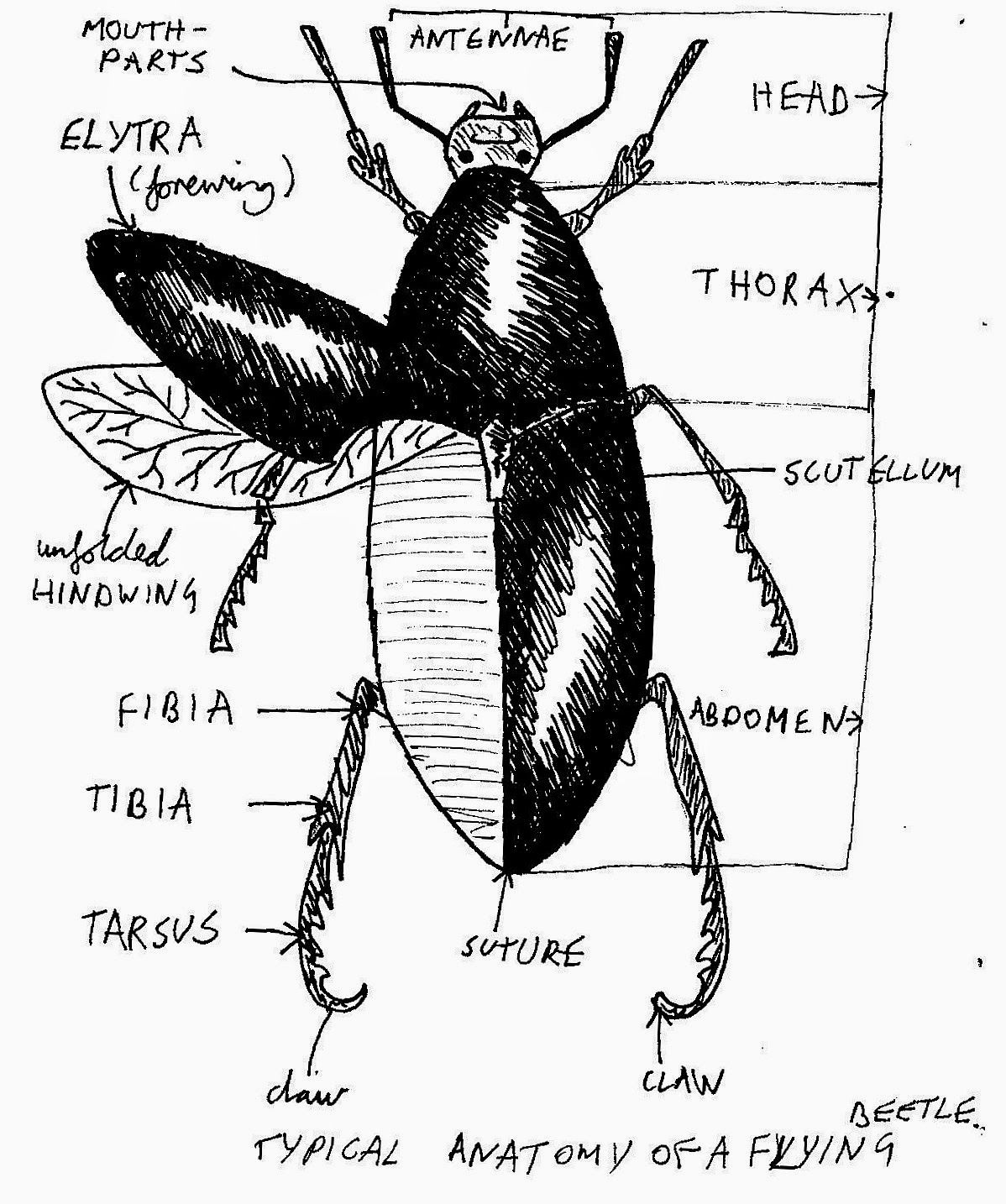 Image Result For Beetles Fore Wings