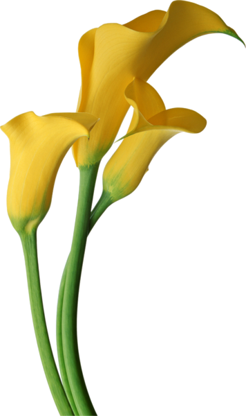 Gallery Recent Updates Calla Lily Lily Flower Calla Lily Flowers