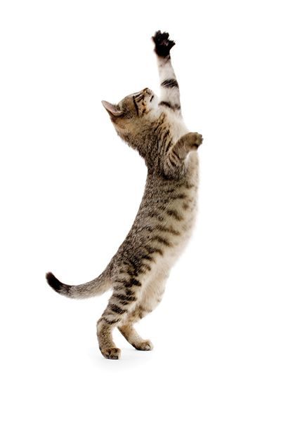 When Do Kittens Open Their Eyes With Images Cat Pose Dancing Cat Cat Colors