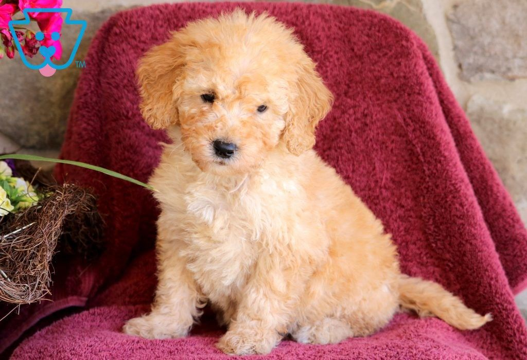 Kyle Goldendoodle Miniature Puppy For Sale Keystone Puppies Miniature Puppies Mini Goldendoodle Puppies