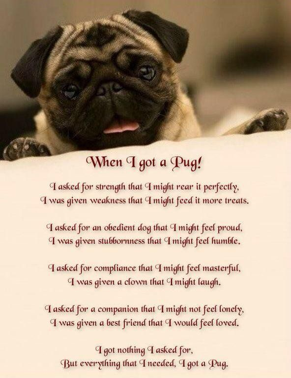 Tucker The Pug On Pug Quotes Pugs Dogs