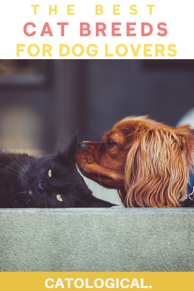 The Best Cat Breeds For Dogs And Dog Lovers In 2020 Best Cat Breeds Dog Lovers Cat Breeds
