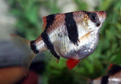 Pregnant Tiger Barb Freshwater Fish Barbs Fish Pet