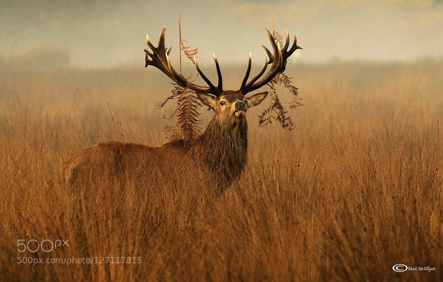 Richmond Park Stag by MarkMcElligott #nature