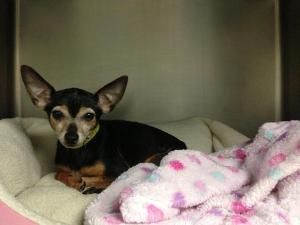 Adopt Peyton On Dog Sounds Dogs Chihuahua Dogs