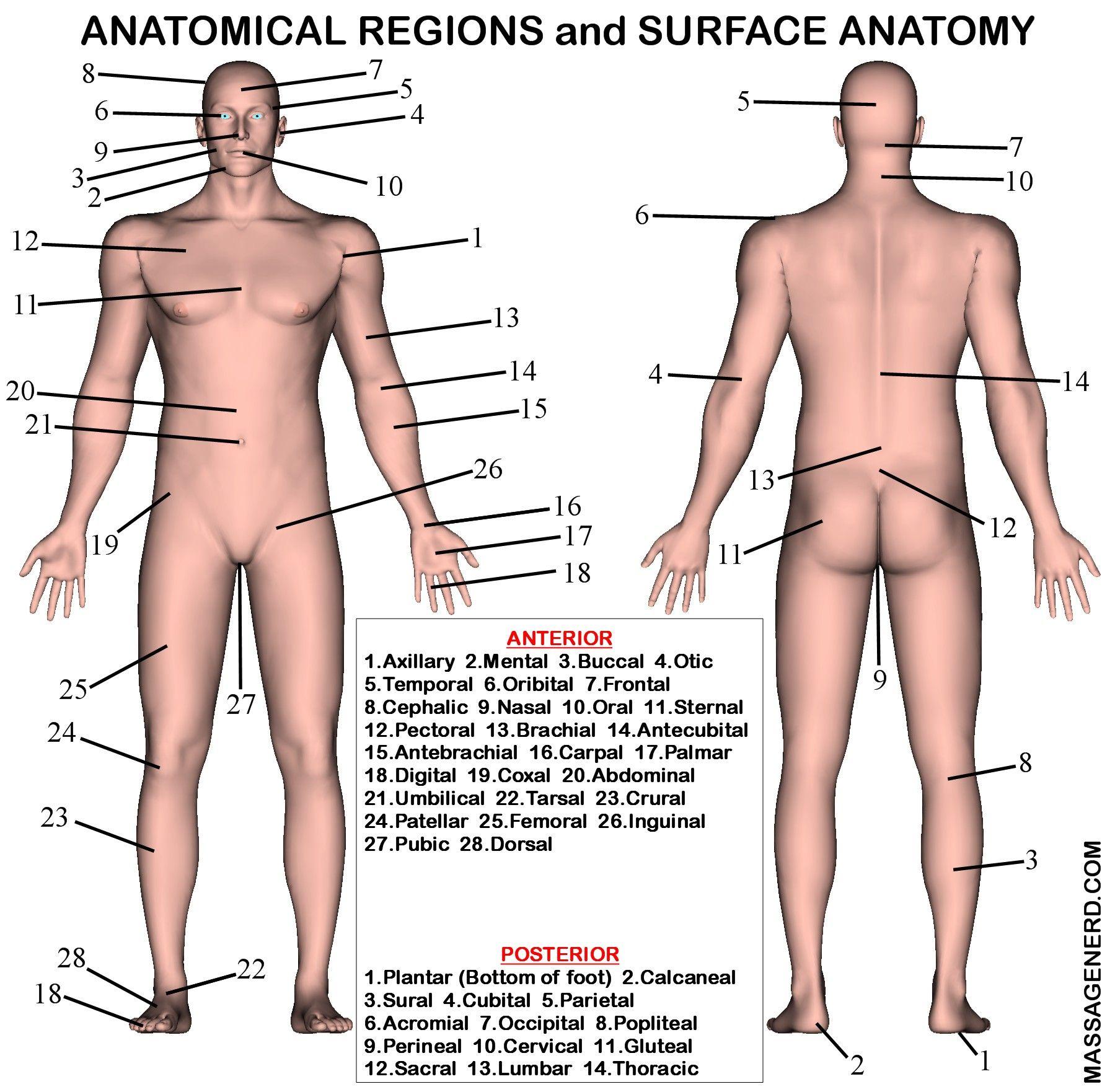 Surface Anatomy Landmarks Human Body