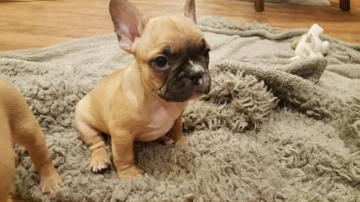 French Bulldog Puppy For Sale In Farmington Mo Adn 55204 On