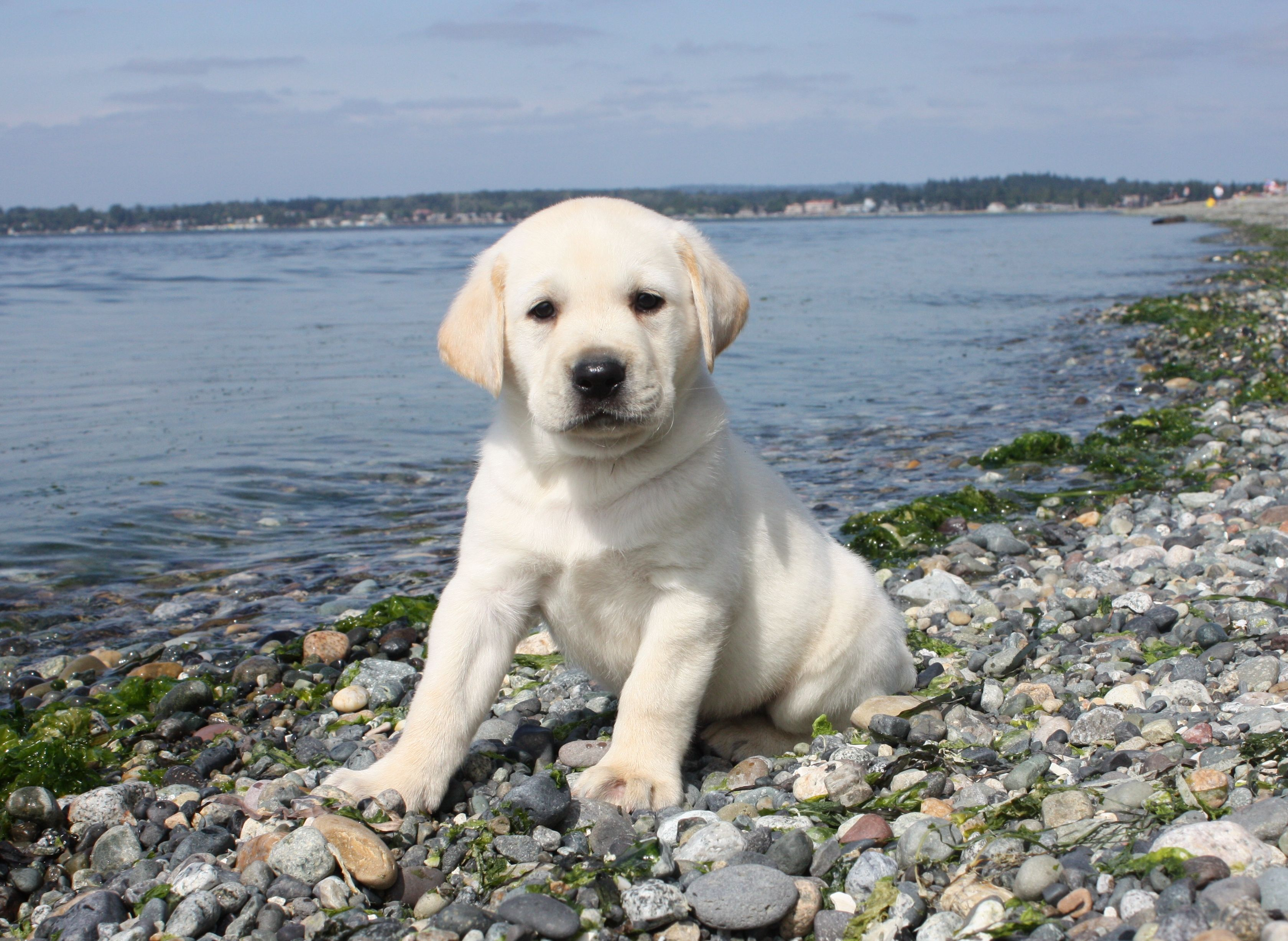Wanna Play In The Water With Me Labrador Puppy Yellow Lab