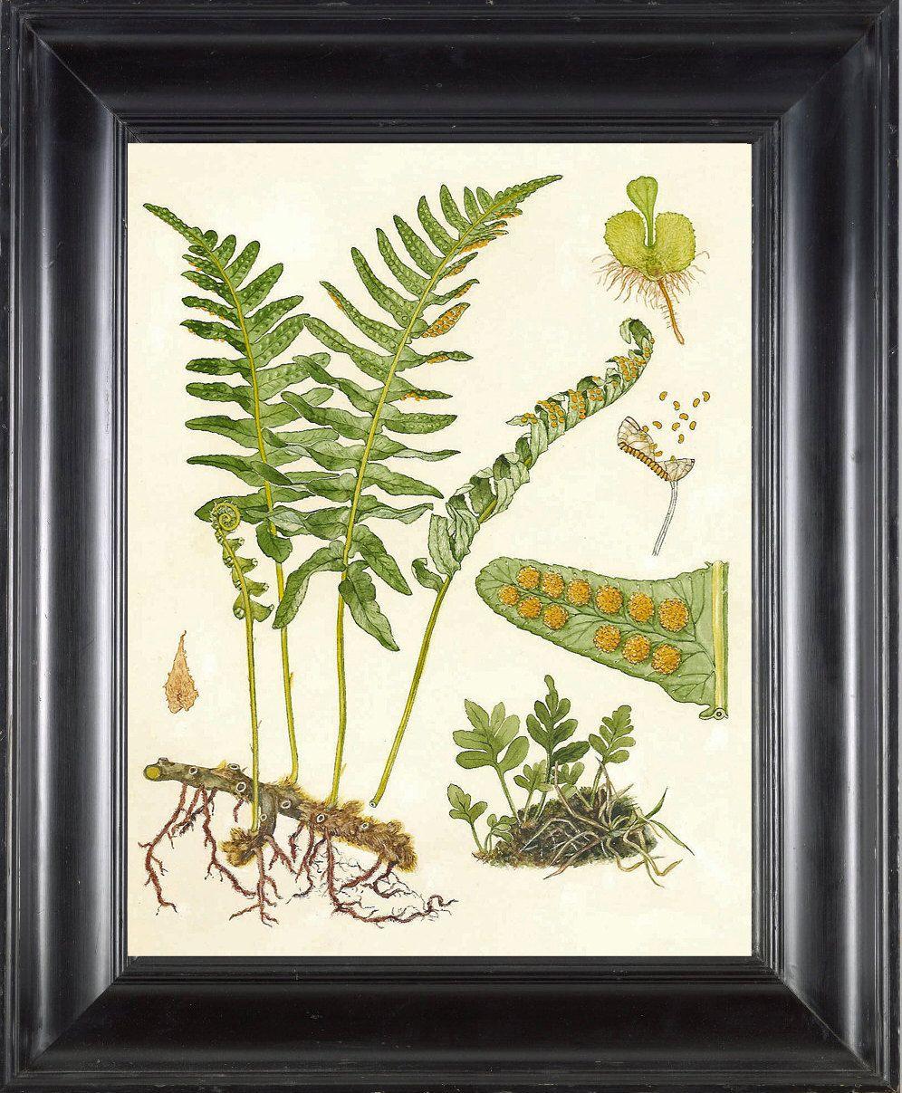 FERN PRINT Lindman 8X10 Botanical Art Print 1 Antique Beautiful ...