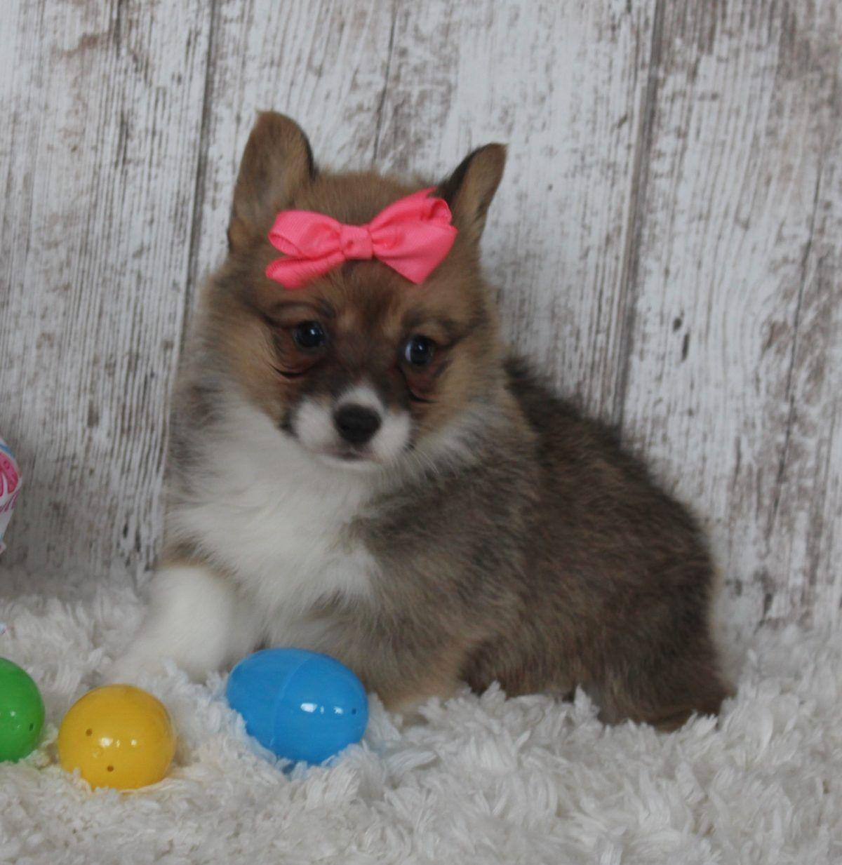 Callie Pembroke Welsh Corgi Puppy For Sale In Harlan In Callie