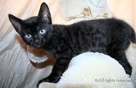 I can't believe! Black (melanistic) Bengal kitten for sale. - YouTube