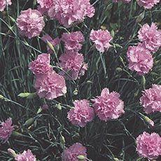 Hardy Carnation Wild Carnation Anjers