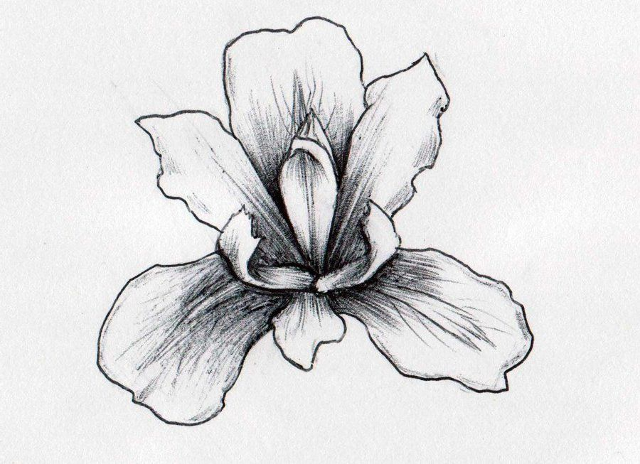 Line Drawing Of Iris Flower : Iris flowers drawings tree of life v nwmjg n