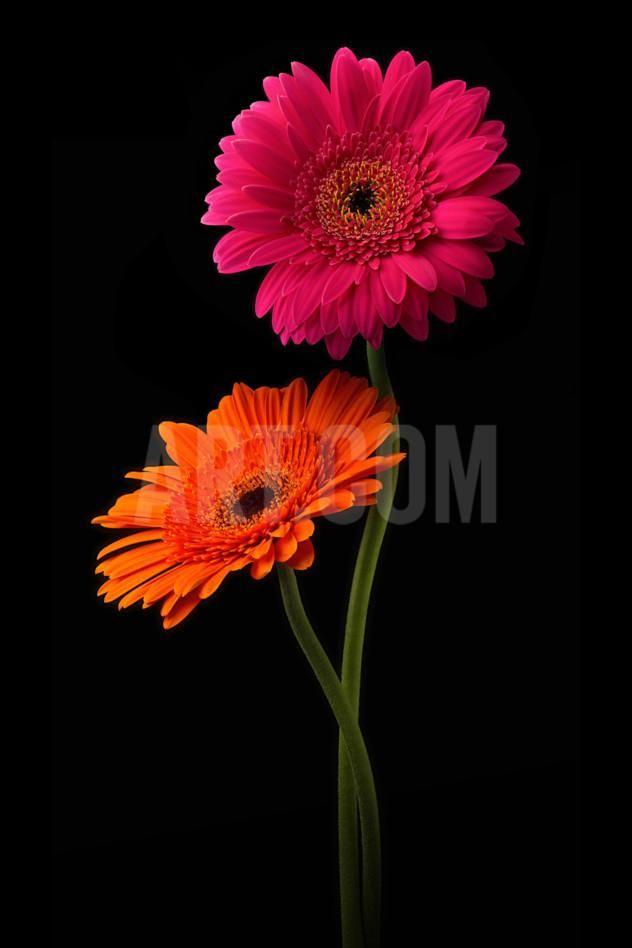 Pink Orange Gerbera With Stem Isolated On Black Photographic Print Hanna Slavinska Art Com In 2020 Colorful Flowers Gerbera Flower Flowers Photography