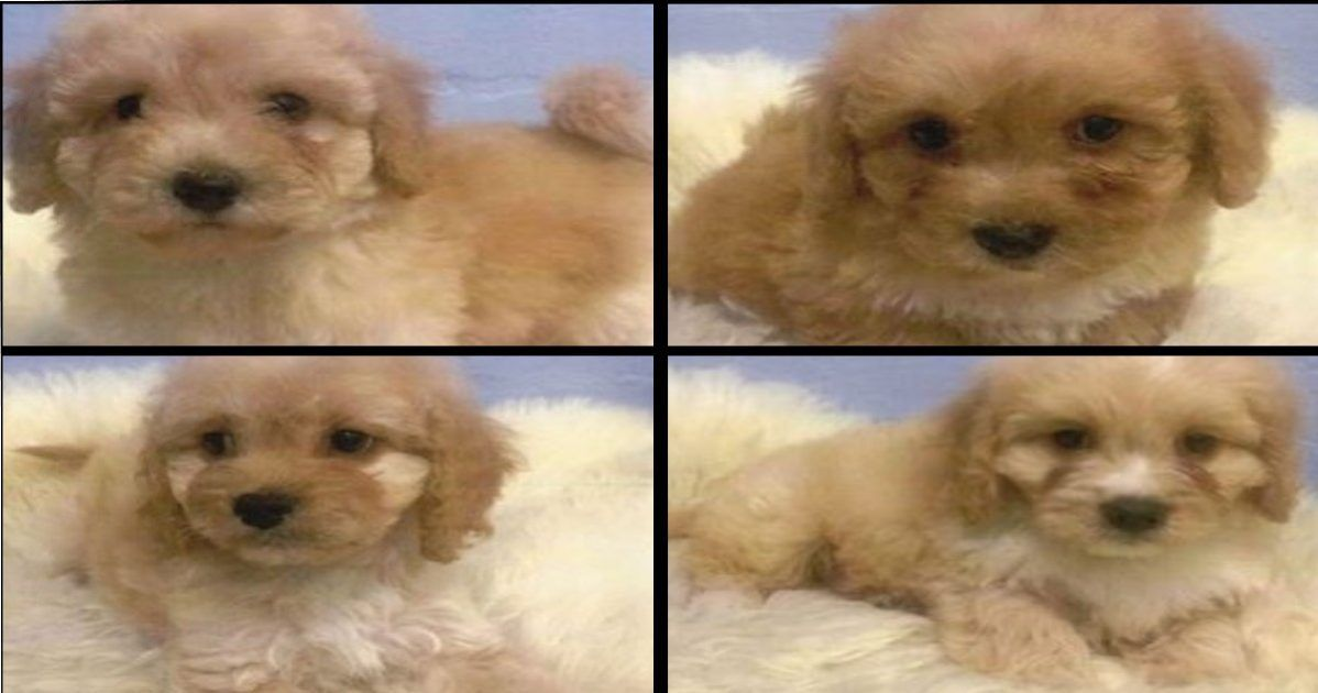 Victoria Police Investigate 4 Puppies Stolen From Camberwell Pet Store Puppies Pet Store Dog Harness