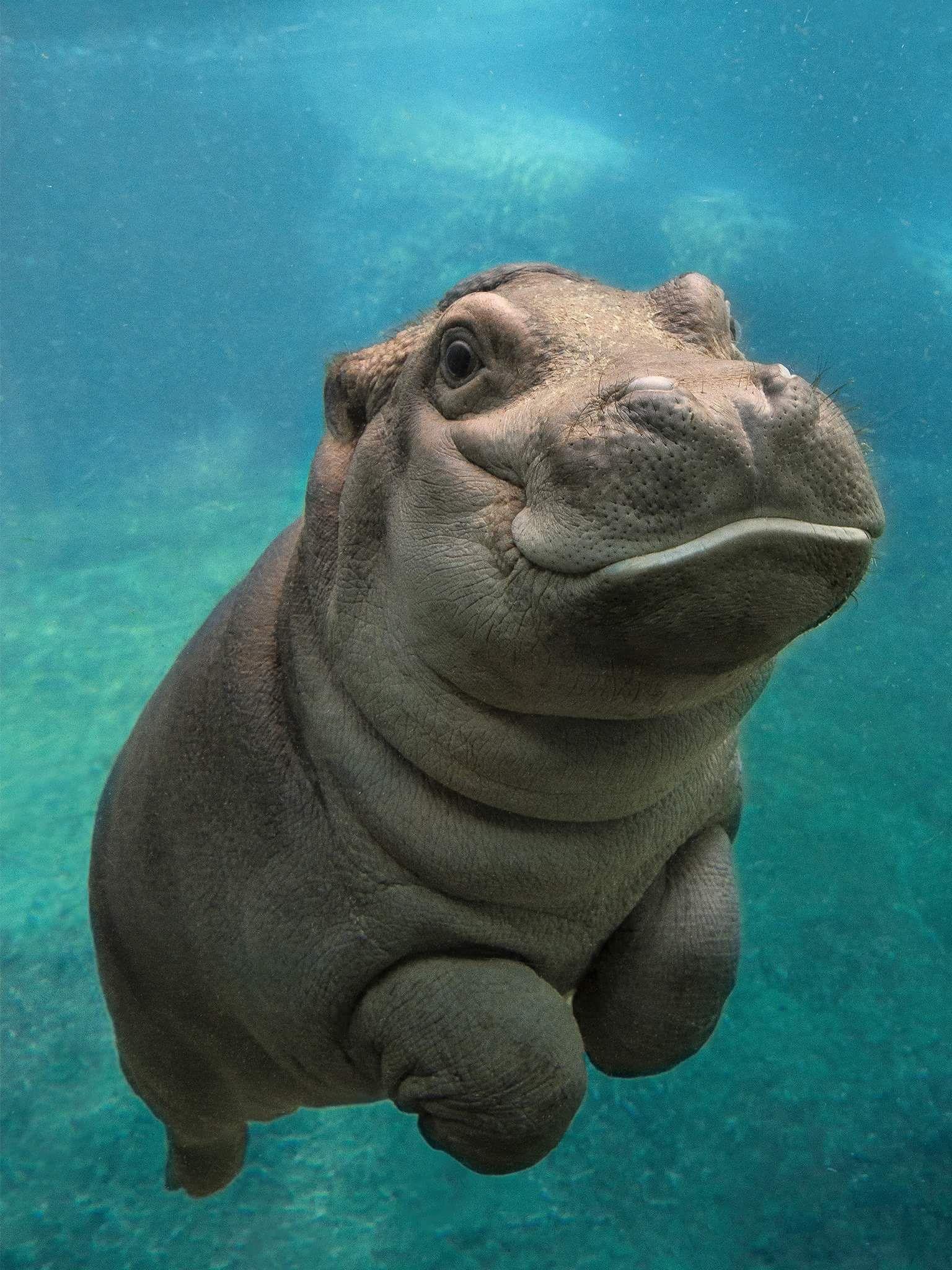 Un bébé hippopotame prend un bain au zoo de San Diego. - Image et ...
