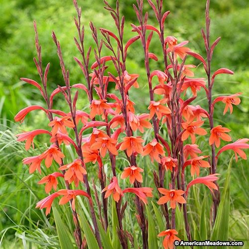Orange Bugle Lily Bulbs American Meadows Bulb Flowers Lily Bulbs Fall Bulbs