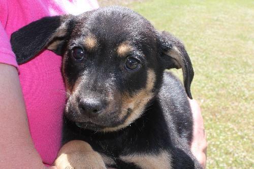 Meet Bentley 20241 A Petfinder Adoptable Shepherd Dog Prattville