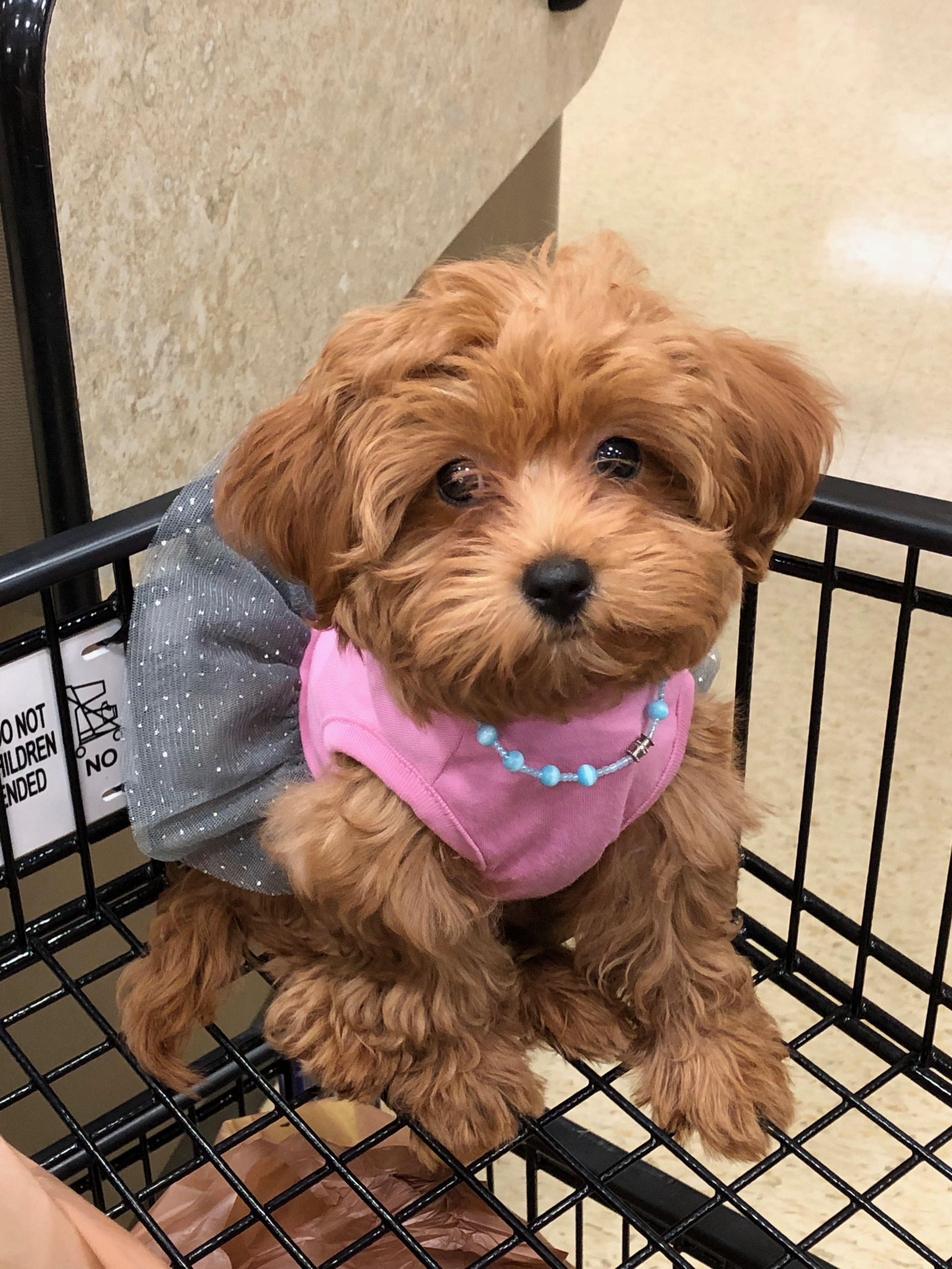 Hollywoodpuppypalace Maltipoo Maltipoo, Dog adoption