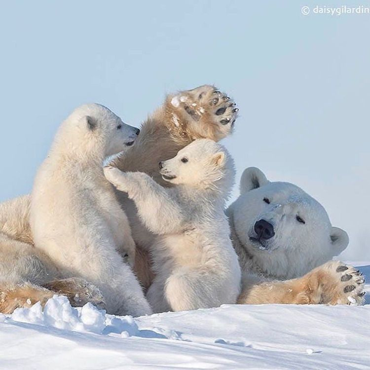 Photo Bebes Animaux Animaux Sauvage Doux Maman Bebe Animaux Nature Naturel Foret Savane Animaux De Bebe Ours Polaires Animaux Adorables Bebes Animaux