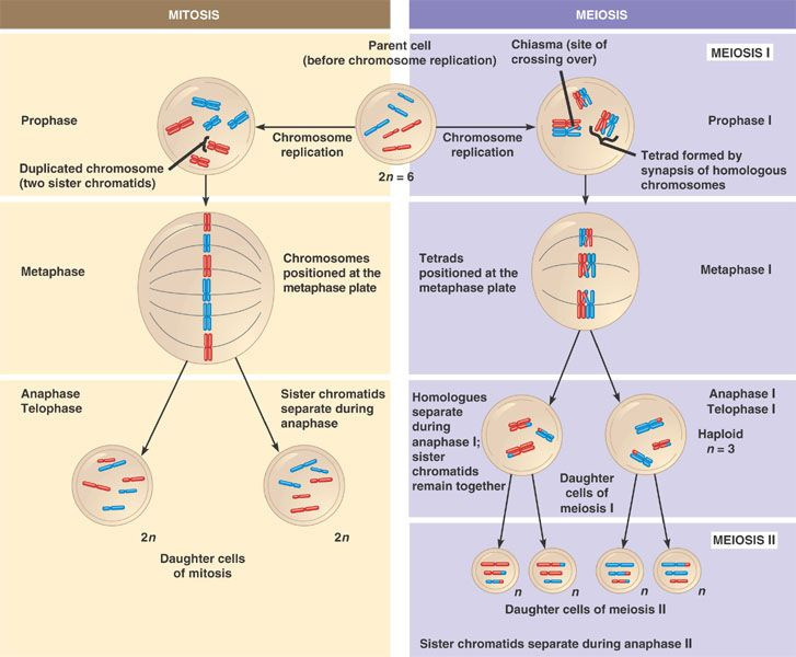 Diagram Of Mitosis And Meiosis Comparison House Wiring Diagram