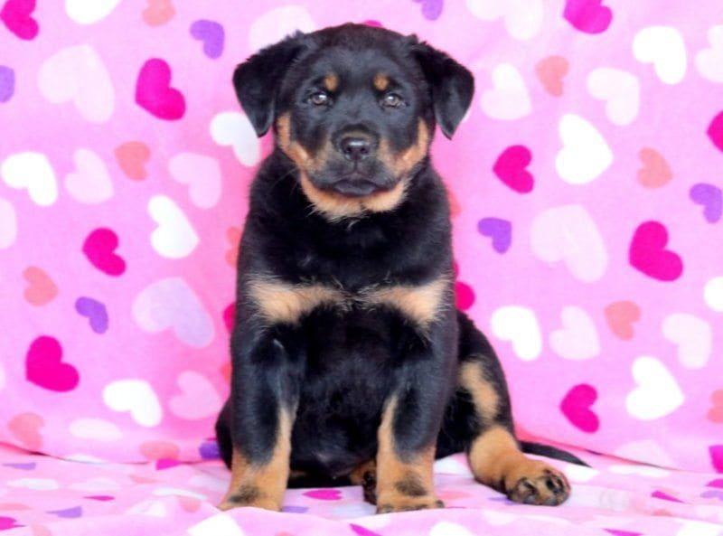 55 German Shepherd Husky Doberman Rottweiler In 2020 Rottweiler