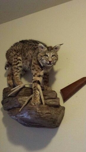Rodricks Eastern Bobcat Mount Bobcat Mounts Pinterest