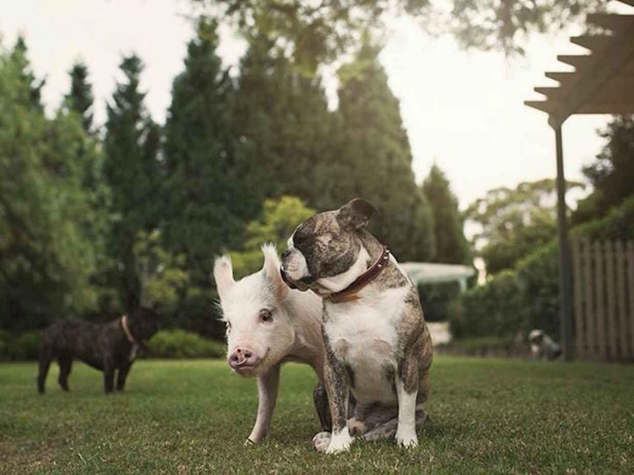 Adorable Pig Whos Grown Up With Dogs Believes Shes A Puppy Too - Adorable pig whos grown up with dogs believes shes a puppy too