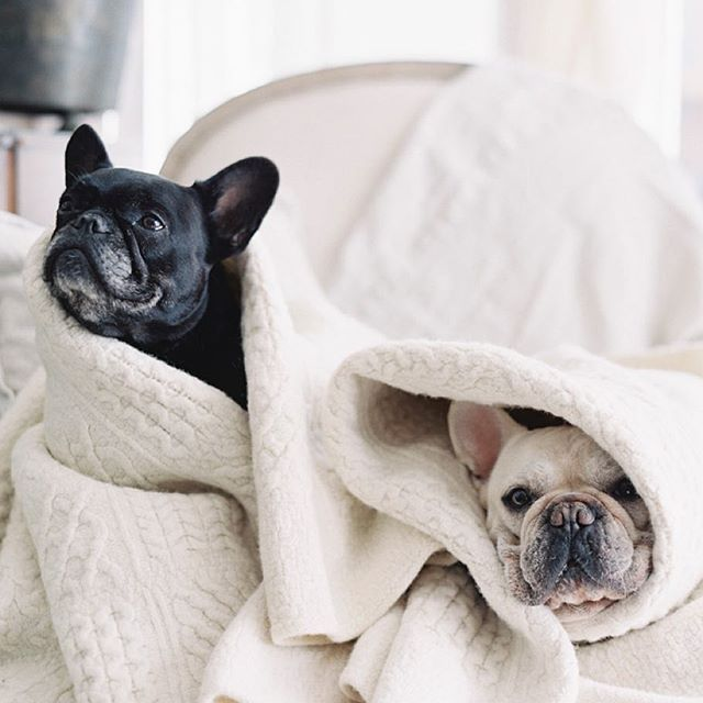 We Re Ready For Upstate New York Gatsby And Pepper French Bulldogs Gatsbyandpepper On Instagram Frenchies Frenchie French Bulldog My Animal Cute Animals