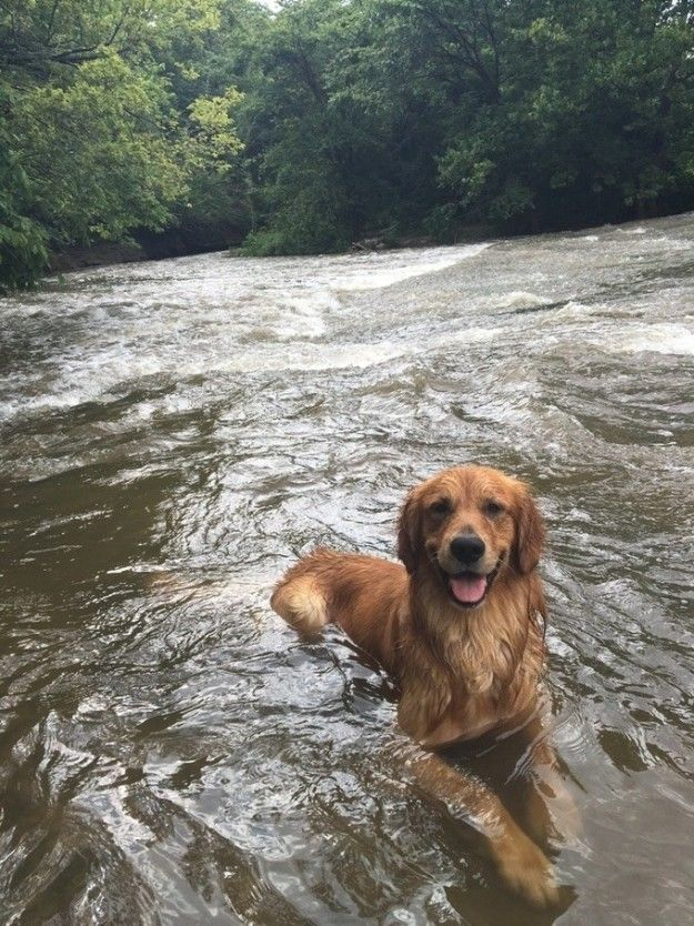 And This Dog Who Is Living Her Best Happiest Life Dogs Golden